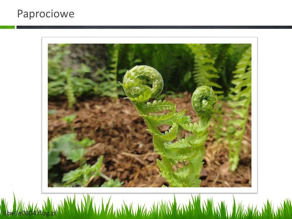 Paprociowe libelle0804.flog.pl