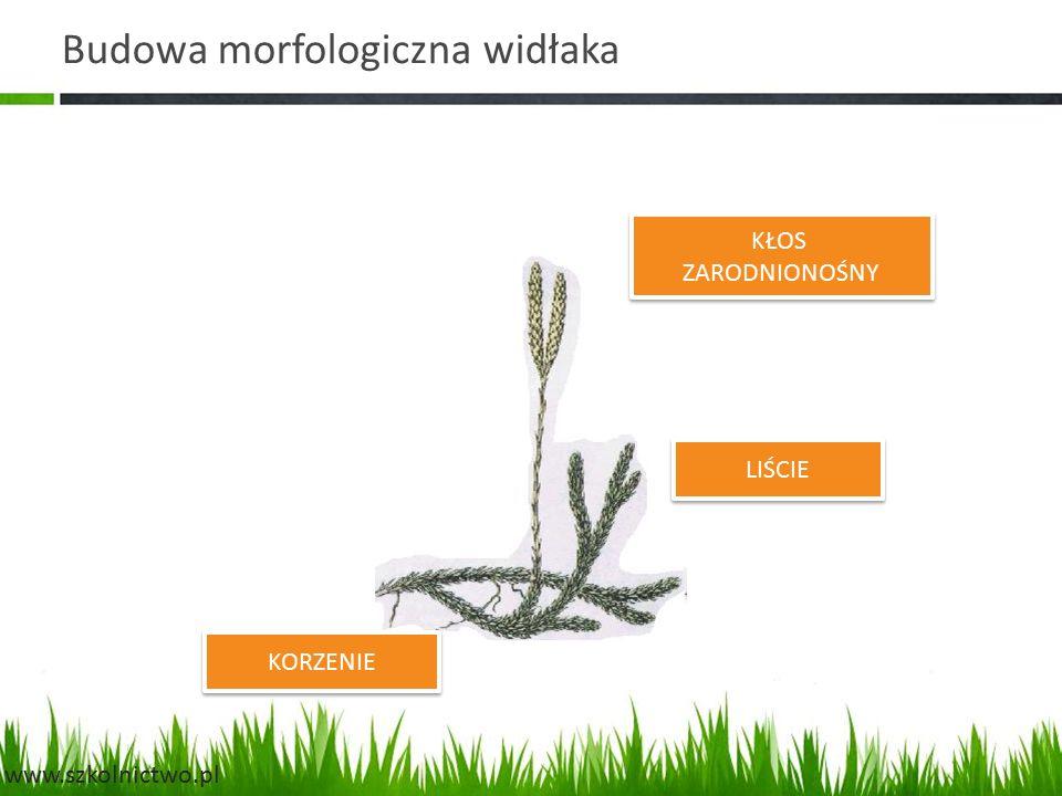 Budowa morfologiczna widłaka KŁOS ZARODNIONOŚNY KŁOS ZARODNIONOŚNY LIŚCIE KORZENIE www.szkolnictwo.pl