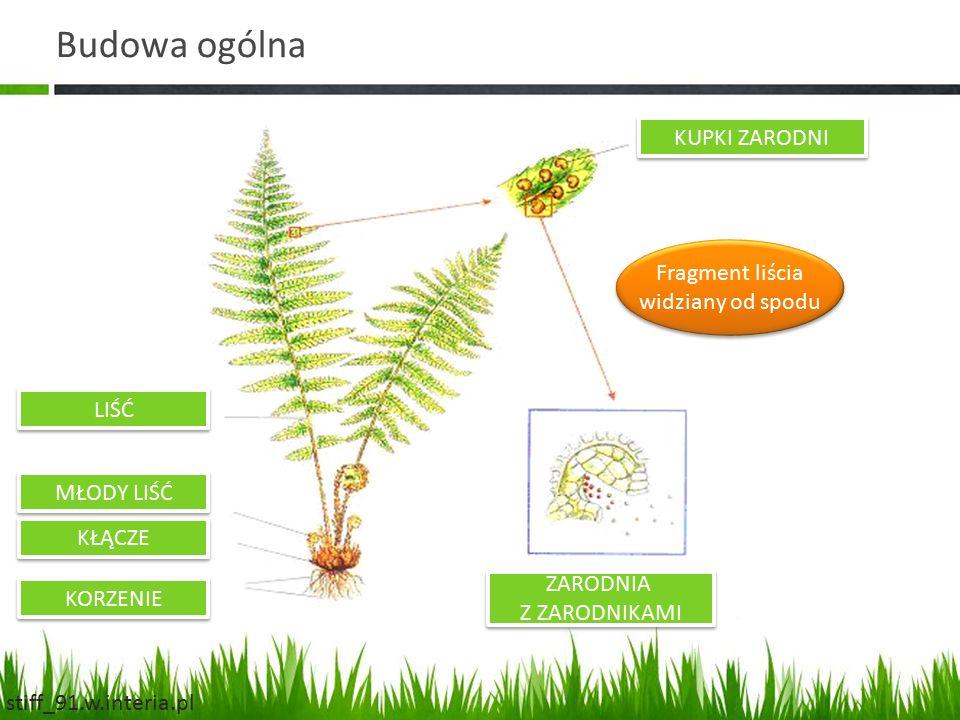 Budowa ogólna KUPKI ZARODNI ZARODNIA Z ZARODNIKAMI LIŚĆ MŁODY LIŚĆ KŁĄCZE KORZENIE Fragment liścia widziany od spodu Fragment liścia widziany od spodu