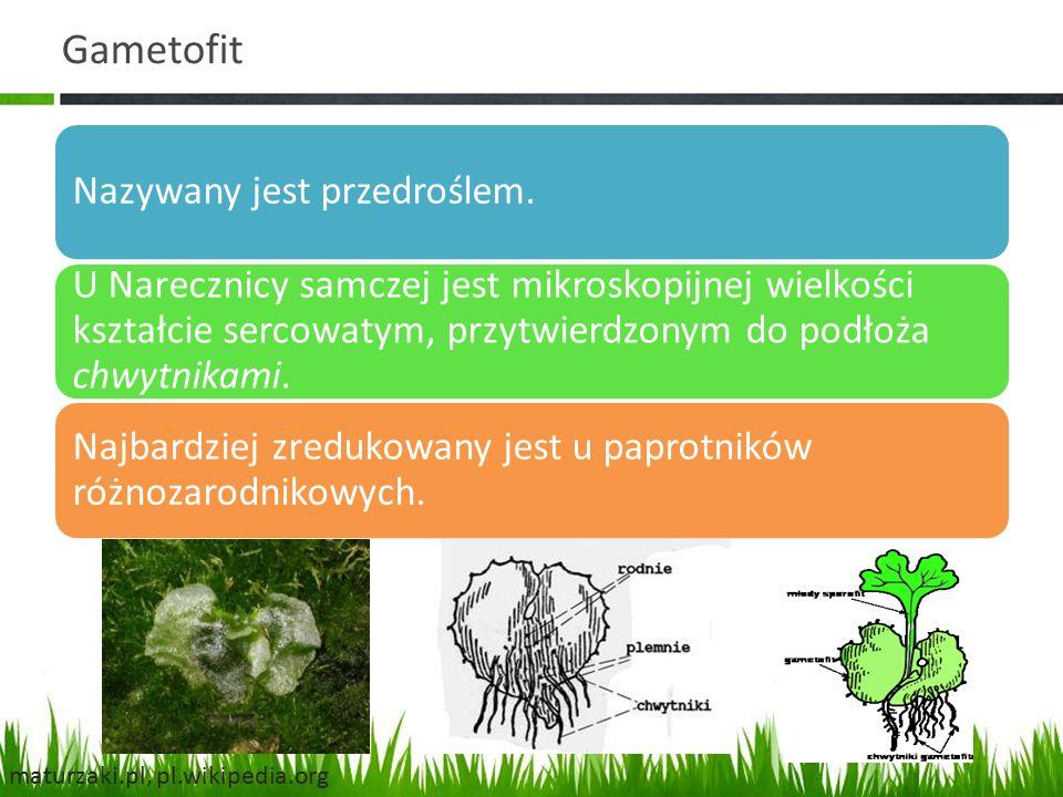 Gametofit Nazywany jest przedroślem. U Narecznicy samczej jest mikroskopijnej wielkości kształcie sercowatym, przytwierdzonym do podłoża chwytnikami.