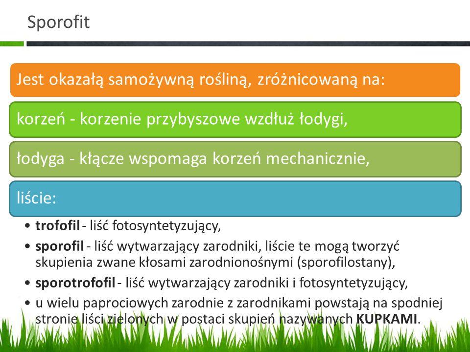 Sporofit Jest okazałą samożywną rośliną, zróżnicowaną na:korzeń - korzenie przybyszowe wzdłuż łodygi,łodyga - kłącze wspomaga korzeń mechanicznie,liśc