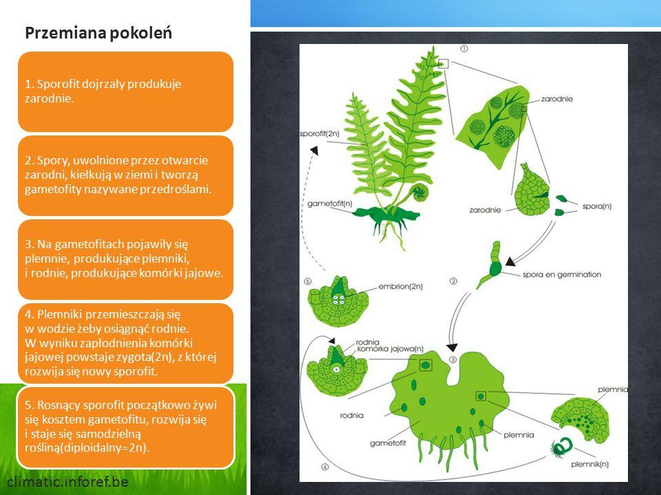 Przemiana pokoleń 1. Sporofit dojrzały produkuje zarodnie. 2. Spory, uwolnione przez otwarcie zarodni, kiełkują w ziemi i tworzą gametofity nazywane p