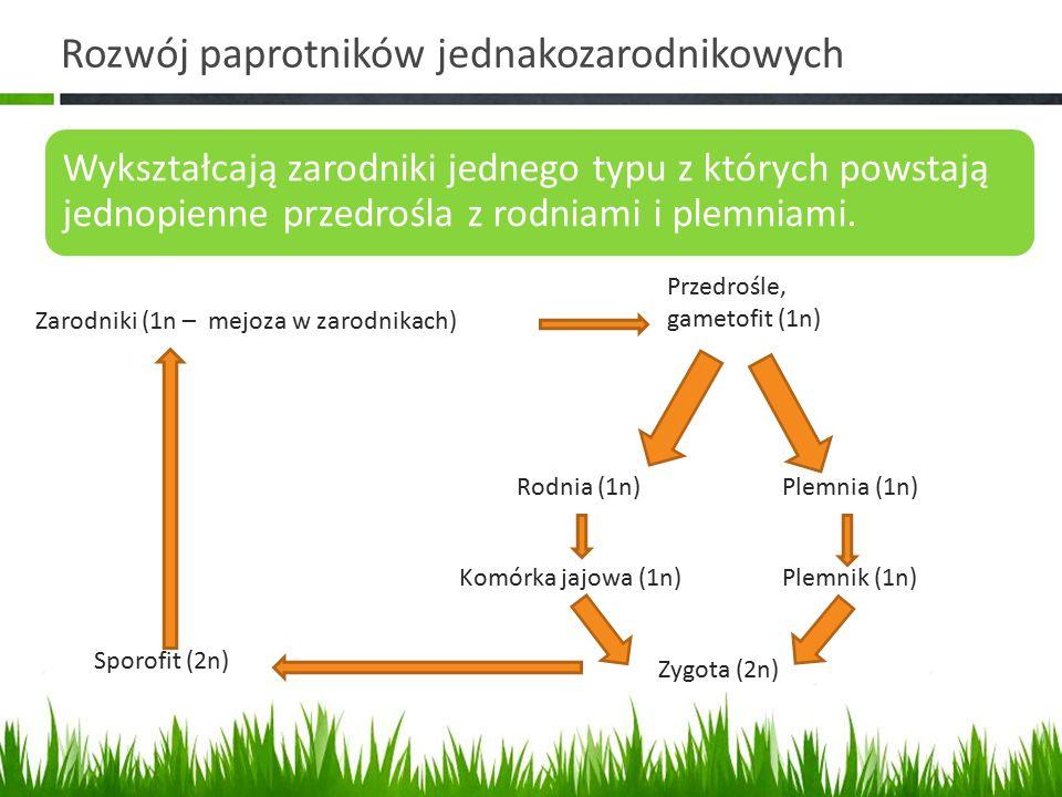Rozwój paprotników jednakozarodnikowych Wykształcają zarodniki jednego typu z których powstają jednopienne przedrośla z rodniami i plemniami. Przedroś
