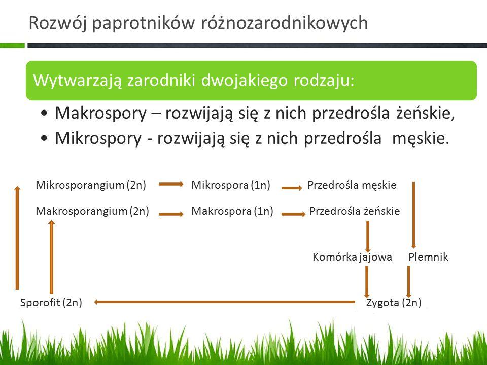Rozwój paprotników różnozarodnikowych Wytwarzają zarodniki dwojakiego rodzaju: Makrospory – rozwijają się z nich przedrośla żeńskie, Mikrospory - rozw