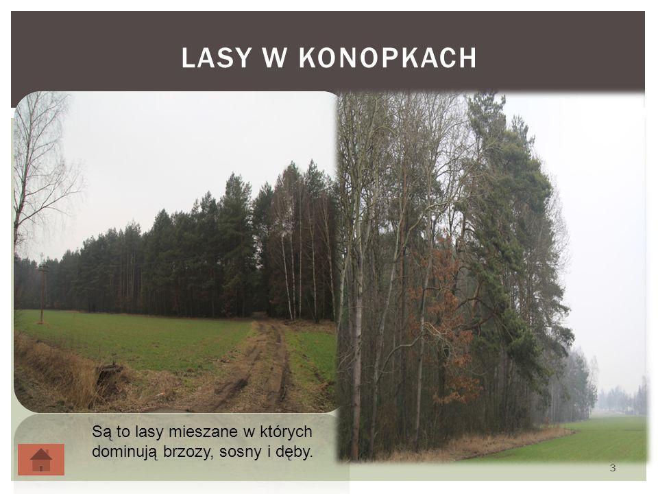 LASY W KONOPKACH 3 Są to lasy mieszane w których dominują brzozy, sosny i dęby.