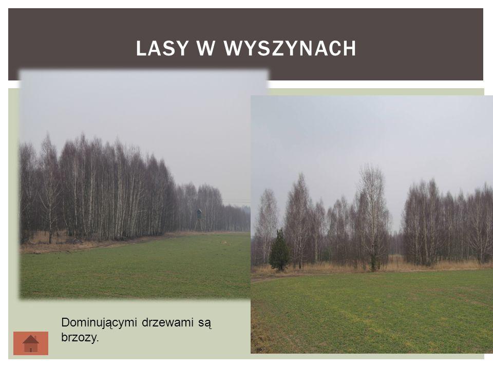 LASY W WYSZYNACH 5 Dominującymi drzewami są brzozy.