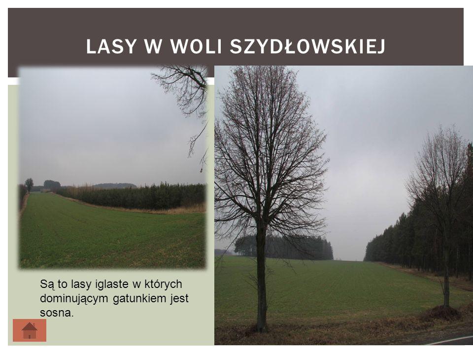 LASY W WOLI SZYDŁOWSKIEJ 6 Są to lasy iglaste w których dominującym gatunkiem jest sosna.