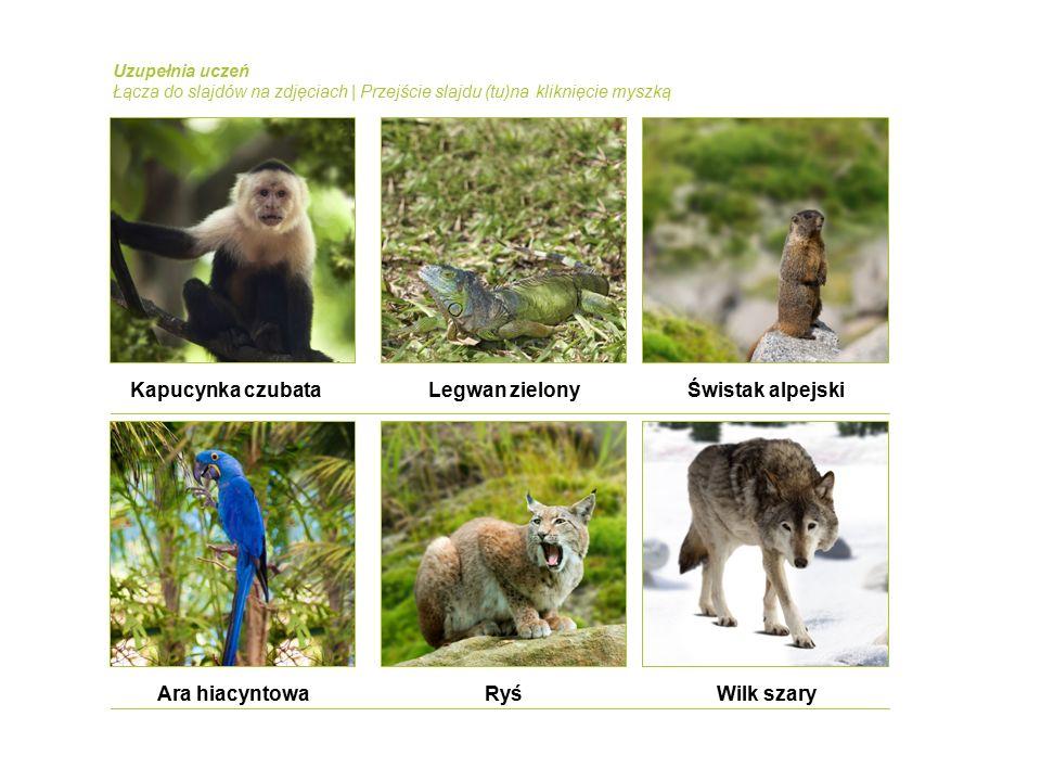Kapucynka czubataLegwan zielonyŚwistak alpejski Ara hiacyntowaRyśWilk szary Uzupełnia uczeń Łącza do slajdów na zdjęciach | Przejście slajdu (tu)na kliknięcie myszką