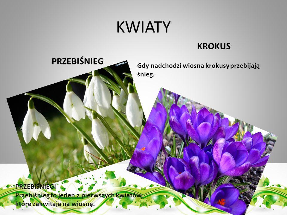 KWIATY PRZEBIŚNIEG KROKUS PRZEBIŚNIEGI Przebiśnieg to jeden z pierwszych kwiatów, które zakwitają na wiosnę. Gdy nadchodzi wiosna krokusy przebijają ś