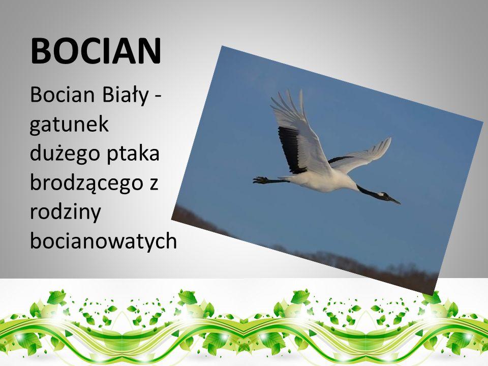BOCIAN Bocian Biały - gatunek dużego ptaka brodzącego z rodziny bocianowatych