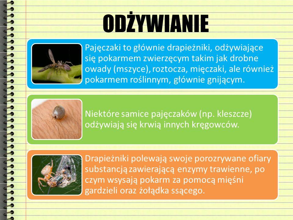 ODŻYWIANIE Pajęczaki to głównie drapieżniki, odżywiające się pokarmem zwierzęcym takim jak drobne owady (mszyce), roztocza, mięczaki, ale również poka