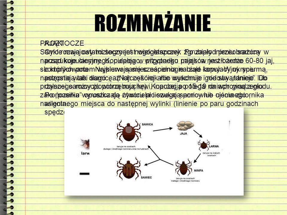 ROZMNAŻANIE PAJĄKI Samce mają ostatni segment nogogłaszczek zgrubiały i przeobrażony w narząd kopulacyjny. Kopulacja w przypadku pająków jest bardzo s