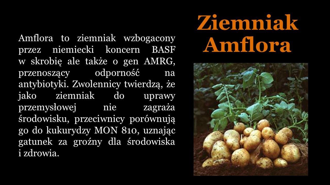 Ziemniak Amflora Amflora to ziemniak wzbogacony przez niemiecki koncern BASF w skrobię ale także o gen AMRG, przenoszący odporność na antybiotyki.