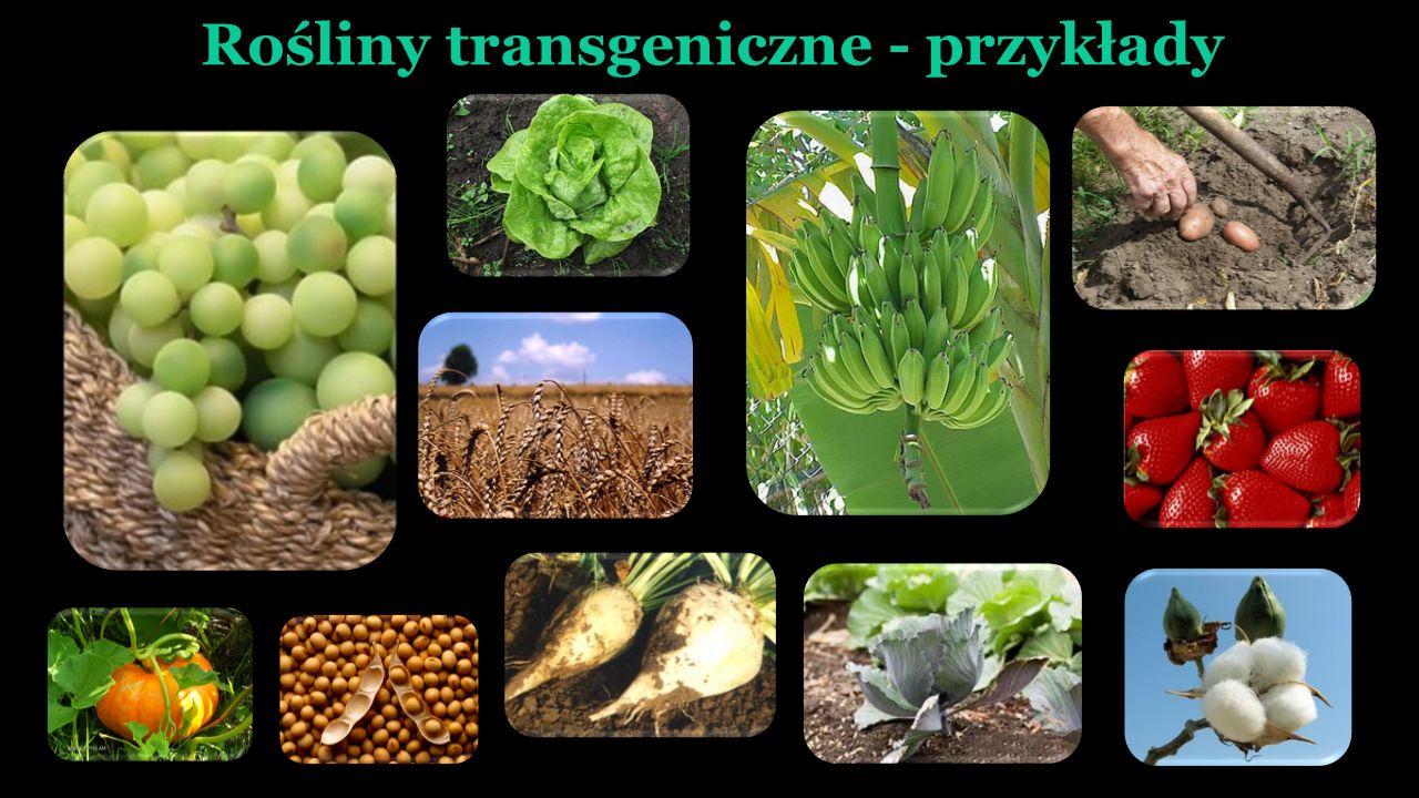 Rośliny transgeniczne - przykłady