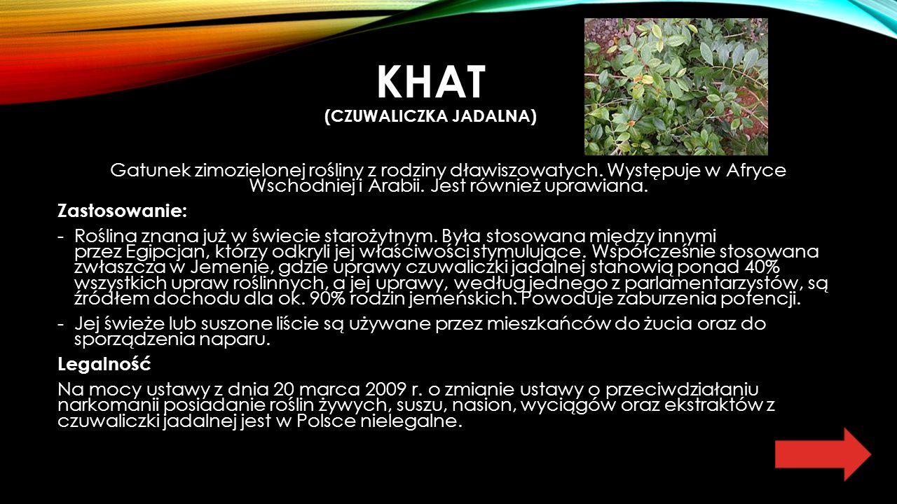 KHAT (CZUWALICZKA JADALNA) Gatunek zimozielonej rośliny z rodziny dławiszowatych.