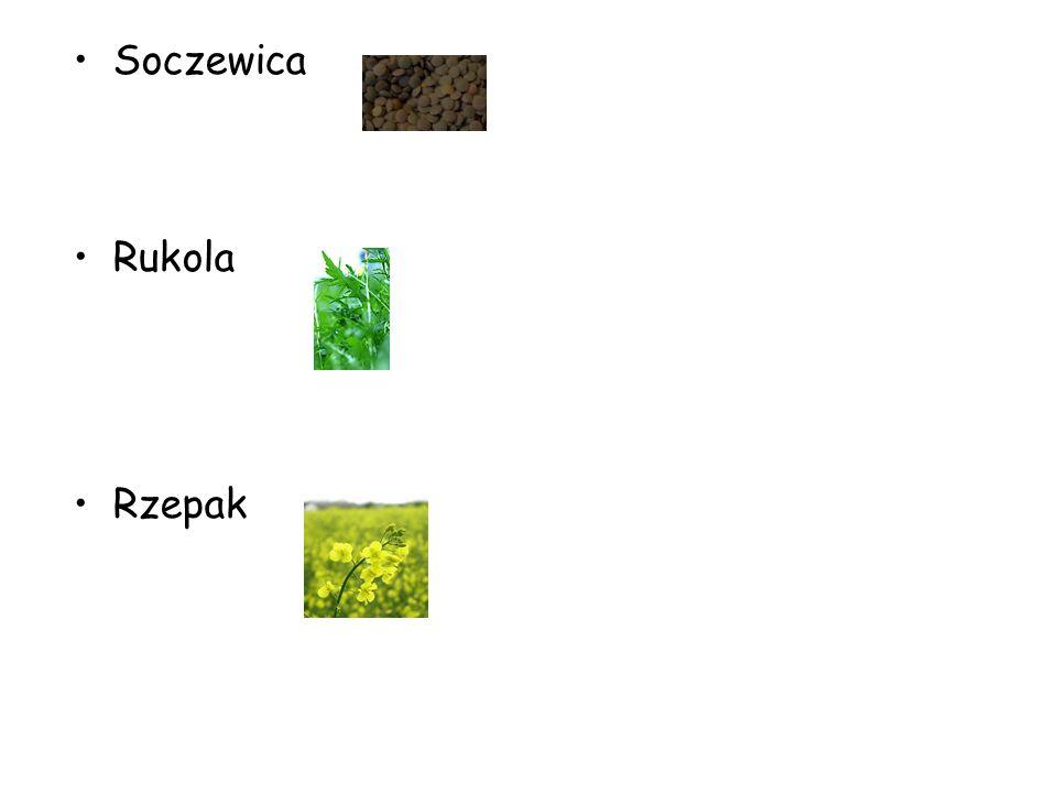 Soczewica Rukola Rzepak