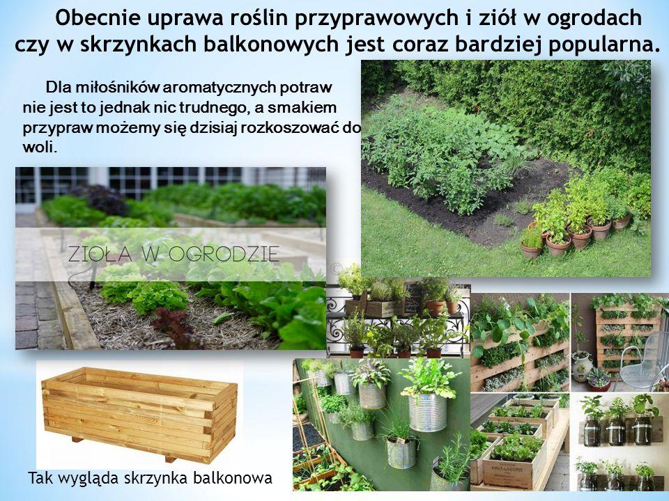 Obecnie uprawa roślin przyprawowych i ziół w ogrodach czy w skrzynkach balkonowych jest coraz bardziej popularna.