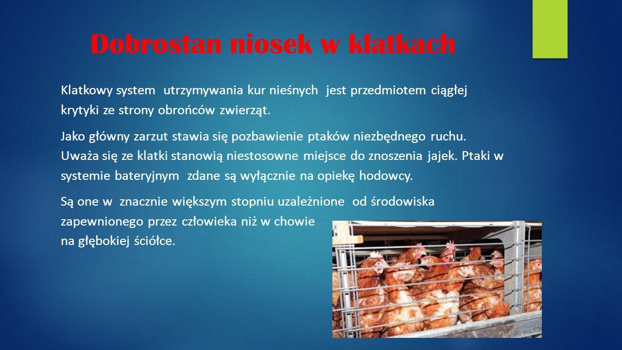 Dobrostan niosek w klatkach Klatkowy system utrzymywania kur nieśnych jest przedmiotem ciągłej krytyki ze strony obrońców zwierząt.