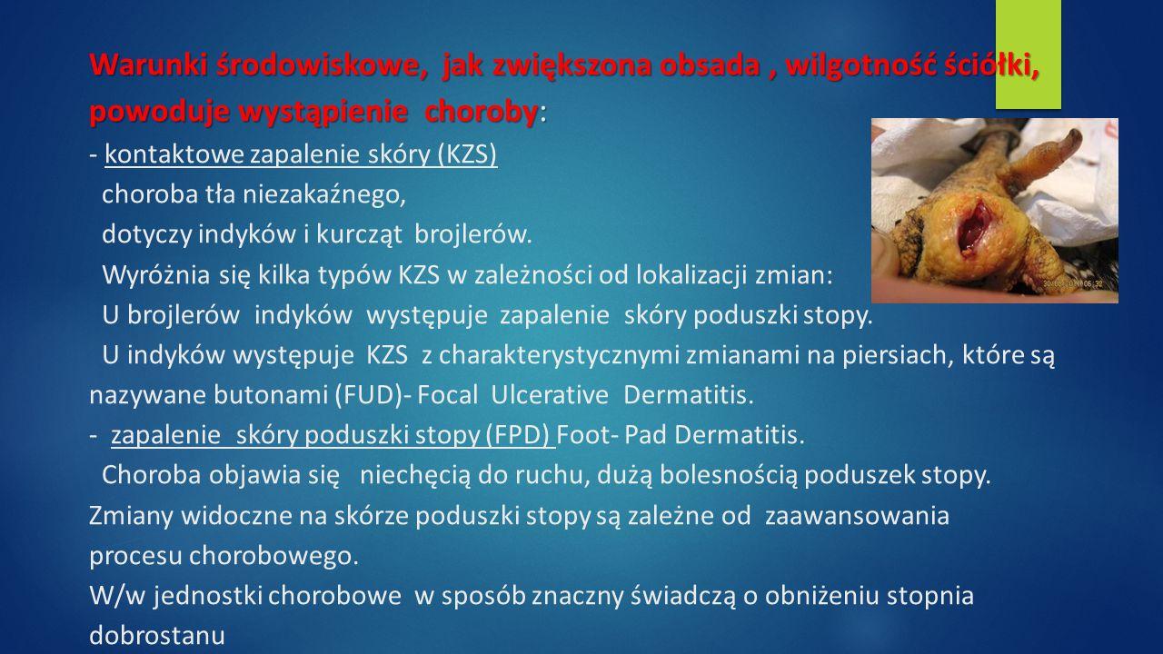 Warunki środowiskowe, jak zwiększona obsada, wilgotność ściółki, powoduje wystąpienie choroby: Warunki środowiskowe, jak zwiększona obsada, wilgotność ściółki, powoduje wystąpienie choroby: - kontaktowe zapalenie skóry (KZS) choroba tła niezakaźnego, dotyczy indyków i kurcząt brojlerów.