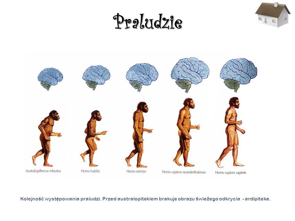 Praludzie Kolejno ść wyst ę powania praludzi. Przed australopitekiem brakuje obrazu ś wie ż ego odkrycia - ardipiteka..