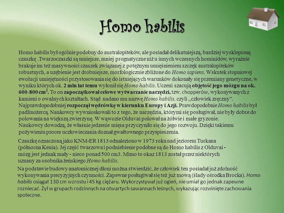 Homo habilis Homo habilis był ogólnie podobny do australopiteków, ale posiadał delikatniejszą, bardziej wysklepioną czaszkę.Twarzoczaszki są mniejsze,