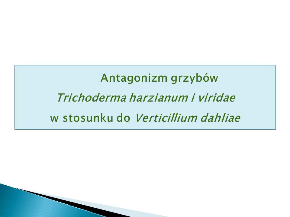 Antagonizm grzybów Trichoderma harzianum i viridae w stosunku do Verticillium dahliae