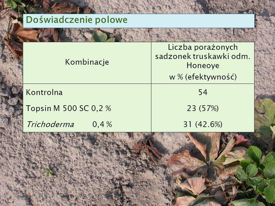 Kombinacje Liczba porażonych sadzonek truskawki odm.