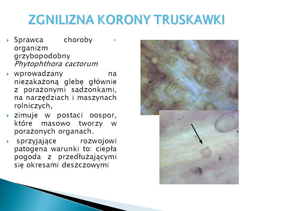  Sprawca choroby – organizm grzybopodobny Phytophthora cactorum  wprowadzany na niezakażoną glebę głównie z porażonymi sadzonkami, na narzędziach i maszynach rolniczych,  zimuje w postaci oospor, które masowo tworzy w porażonych organach.