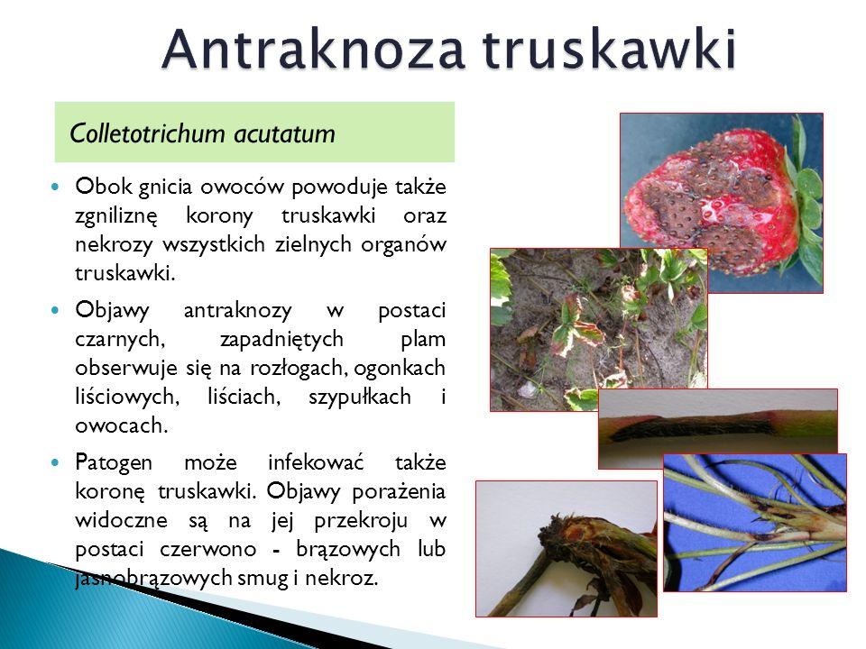 Colletotrichum acutatum Obok gnicia owoców powoduje także zgniliznę korony truskawki oraz nekrozy wszystkich zielnych organów truskawki.