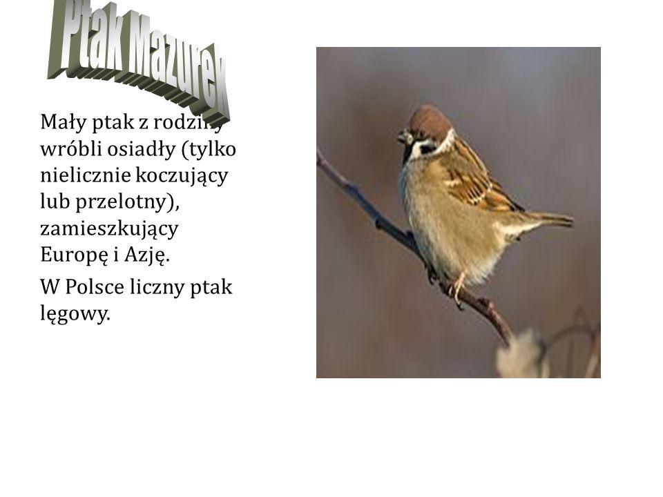 Mały ptak z rodziny wróbli osiadły (tylko nielicznie koczujący lub przelotny), zamieszkujący Europę i Azję.