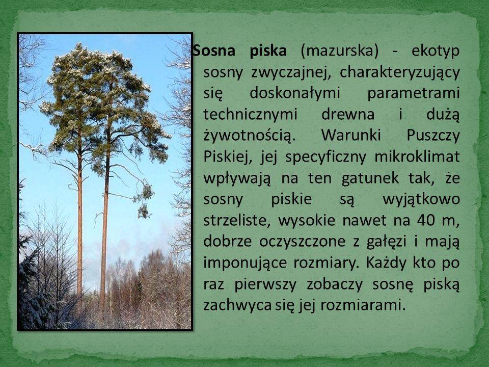 Sosna piska (mazurska) - ekotyp sosny zwyczajnej, charakteryzujący się doskonałymi parametrami technicznymi drewna i dużą żywotnością.