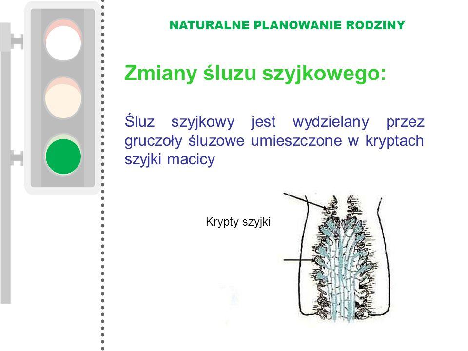 NATURALNE PLANOWANIE RODZINY Śluz szyjkowy jest wydzielany przez gruczoły śluzowe umieszczone w kryptach szyjki macicy Krypty szyjki Zmiany śluzu szyj