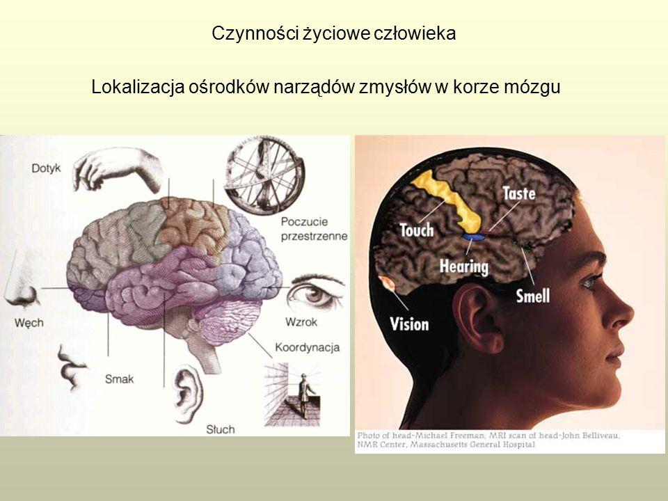 Czynności życiowe człowieka Lokalizacja ośrodków narządów zmysłów w korze mózgu
