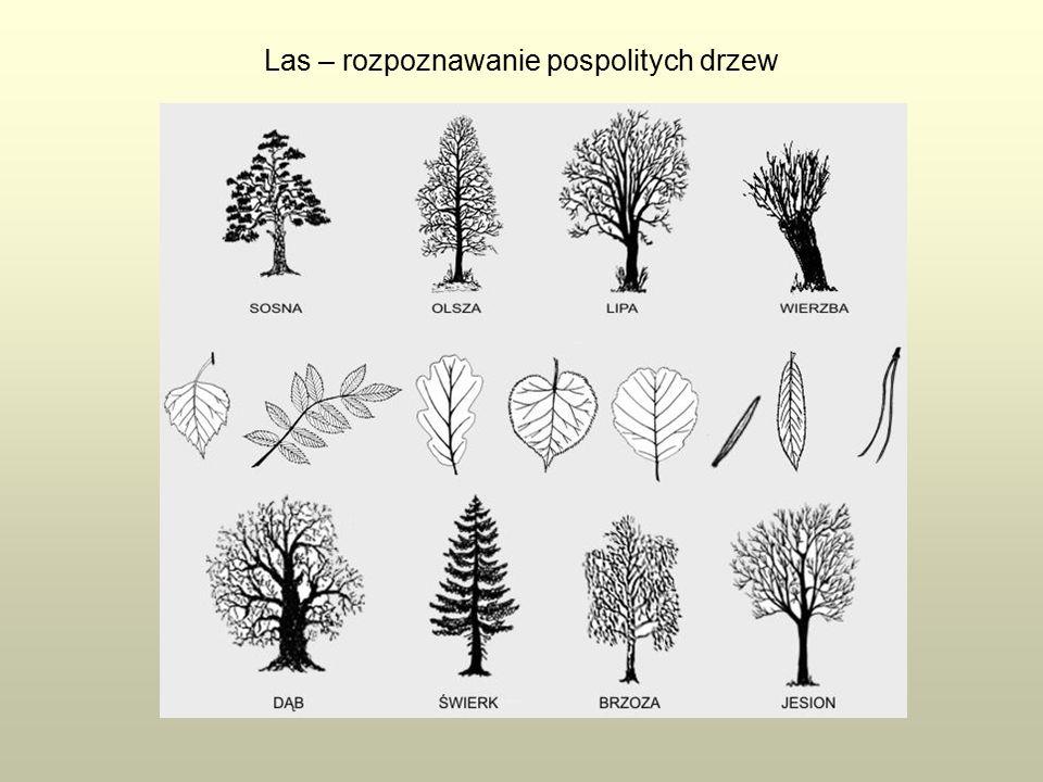 Las – rozpoznawanie pospolitych drzew
