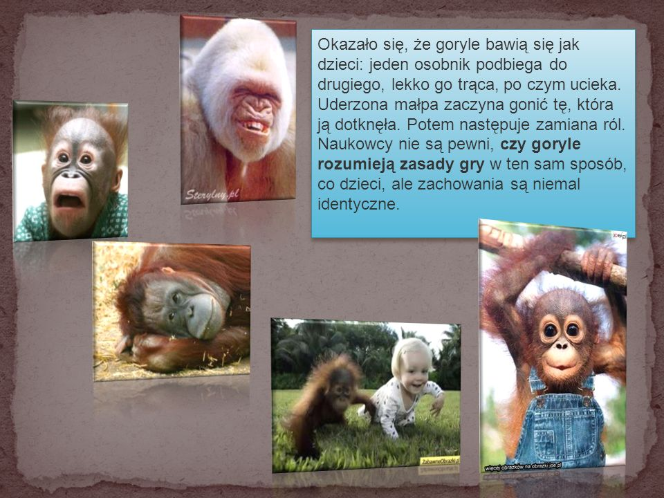 Naukowcy znaleźli kolejne podobieństwa między małpami człekokształtnymi a ludźmi.