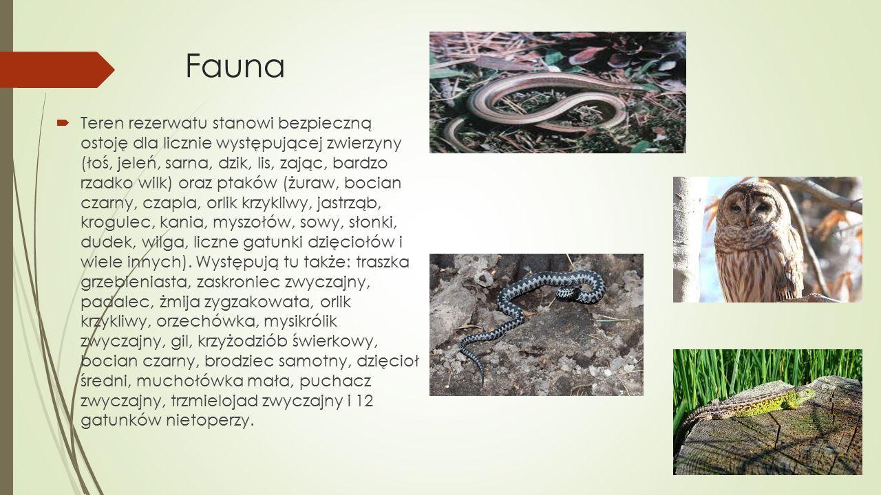 Fauna  Teren rezerwatu stanowi bezpieczną ostoję dla licznie występującej zwierzyny (łoś, jeleń, sarna, dzik, lis, zając, bardzo rzadko wilk) oraz ptaków (żuraw, bocian czarny, czapla, orlik krzykliwy, jastrząb, krogulec, kania, myszołów, sowy, słonki, dudek, wilga, liczne gatunki dzięciołów i wiele innych).
