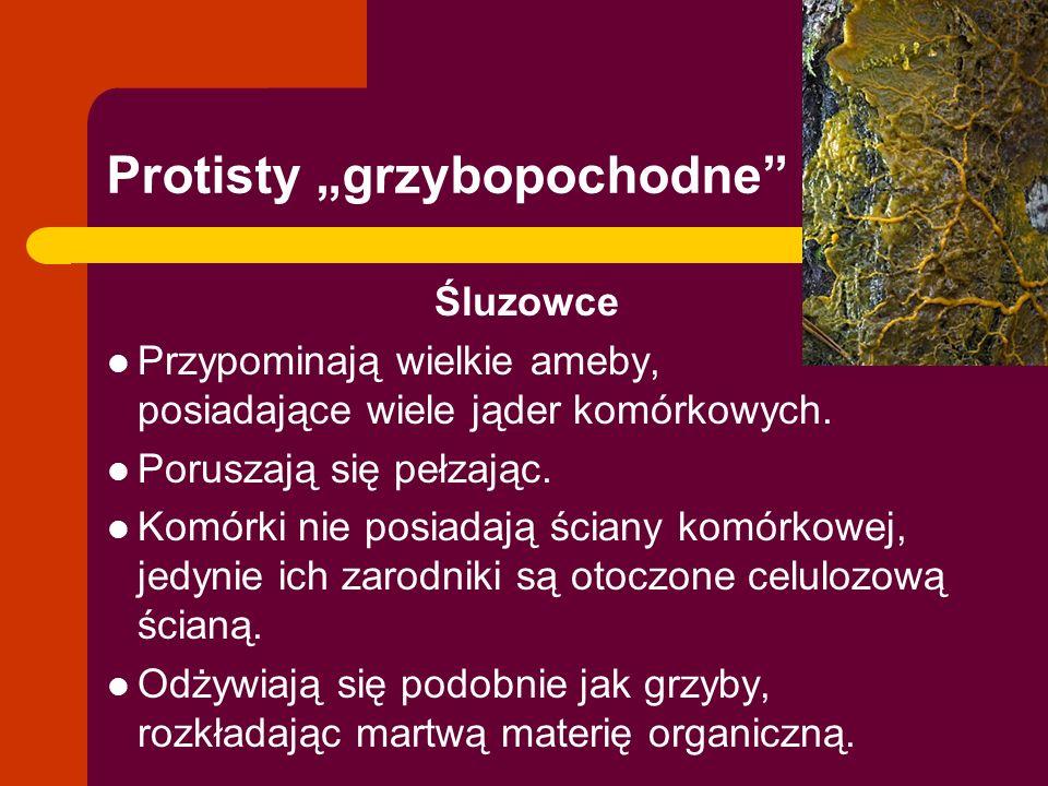 """Protisty """"grzybopochodne"""" Śluzowce Przypominają wielkie ameby, posiadające wiele jąder komórkowych. Poruszają się pełzając. Komórki nie posiadają ścia"""