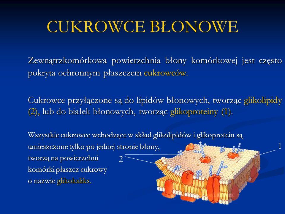 CUKROWCE BŁONOWE Zewnątrzkomórkowa powierzchnia błony komórkowej jest często pokryta ochronnym płaszczem cukrowców. Cukrowce przyłączone są do lipidów