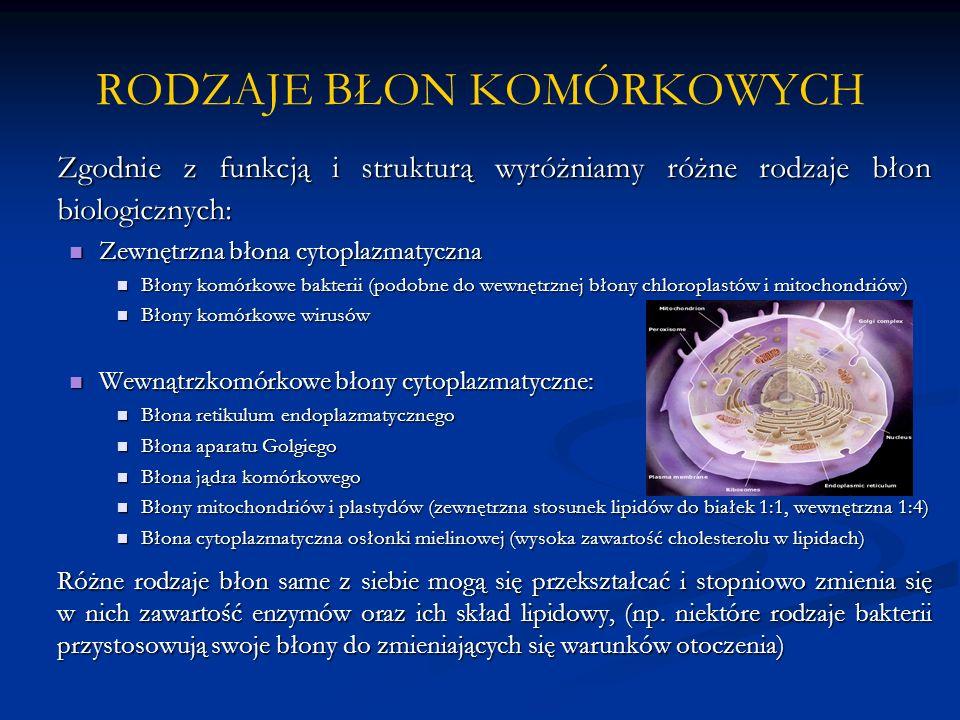 RODZAJE BŁON KOMÓRKOWYCH Zgodnie z funkcją i strukturą wyróżniamy różne rodzaje błon biologicznych: Zewnętrzna błona cytoplazmatyczna Zewnętrzna błona cytoplazmatyczna Błony komórkowe bakterii (podobne do wewnętrznej błony chloroplastów i mitochondriów) Błony komórkowe bakterii (podobne do wewnętrznej błony chloroplastów i mitochondriów) Błony komórkowe wirusów Błony komórkowe wirusów Wewnątrzkomórkowe błony cytoplazmatyczne: Wewnątrzkomórkowe błony cytoplazmatyczne: Błona retikulum endoplazmatycznego Błona retikulum endoplazmatycznego Błona aparatu Golgiego Błona aparatu Golgiego Błona jądra komórkowego Błona jądra komórkowego Błony mitochondriów i plastydów (zewnętrzna stosunek lipidów do białek 1:1, wewnętrzna 1:4) Błony mitochondriów i plastydów (zewnętrzna stosunek lipidów do białek 1:1, wewnętrzna 1:4) Błona cytoplazmatyczna osłonki mielinowej (wysoka zawartość cholesterolu w lipidach) Błona cytoplazmatyczna osłonki mielinowej (wysoka zawartość cholesterolu w lipidach) Różne rodzaje błon same z siebie mogą się przekształcać i stopniowo zmienia się w nich zawartość enzymów oraz ich skład lipidowy, (np.