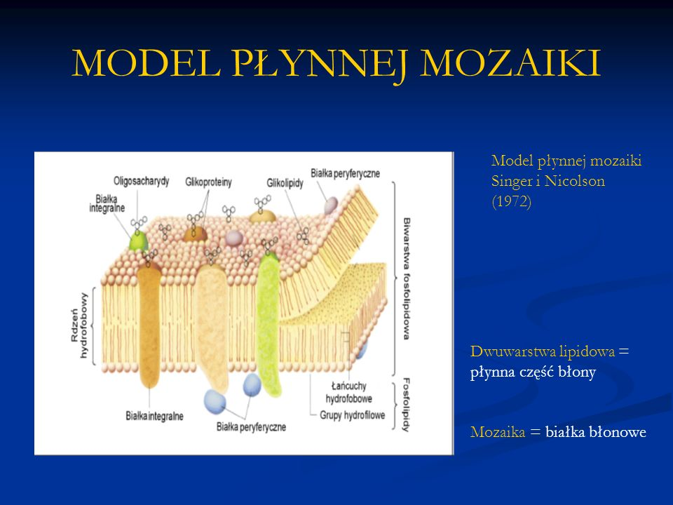 MODEL PŁYNNEJ MOZAIKI Model płynnej mozaiki Singer i Nicolson (1972) Dwuwarstwa lipidowa = płynna część błony Mozaika = białka błonowe