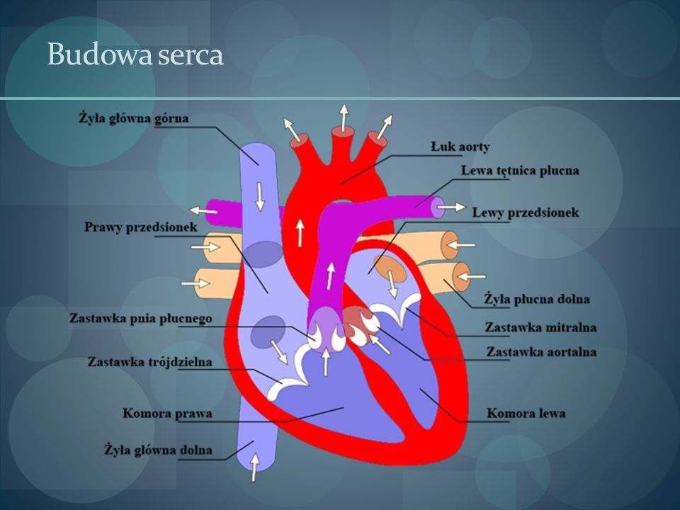 Wpływ treningu na układ krążenia – częstość skurczów serca  Trening wytrzymałościowy zwalnia spoczynkową częstość skurczów serca do 40 na minutę.