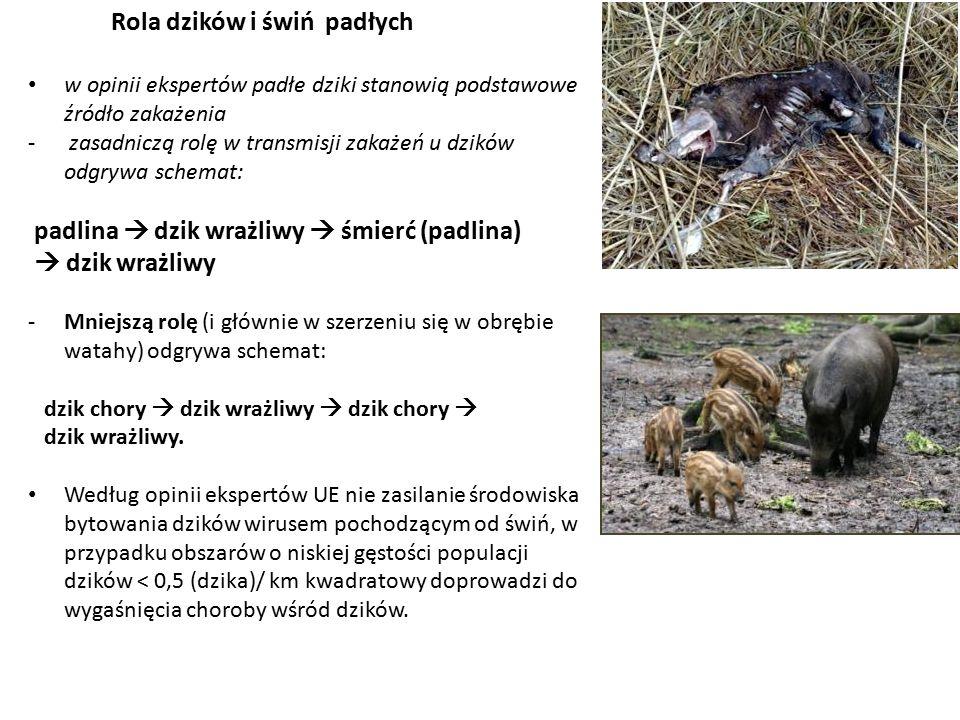 Rola dzików i świń padłych w opinii ekspertów padłe dziki stanowią podstawowe źródło zakażenia - zasadniczą rolę w transmisji zakażeń u dzików odgrywa schemat: padlina  dzik wrażliwy  śmierć (padlina)  dzik wrażliwy -Mniejszą rolę (i głównie w szerzeniu się w obrębie watahy) odgrywa schemat: dzik chory  dzik wrażliwy  dzik chory  dzik wrażliwy.