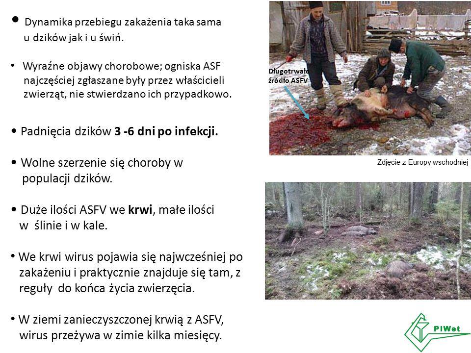 Dynamika przebiegu zakażenia taka sama u dzików jak i u świń. Wyraźne objawy chorobowe; ogniska ASF najczęściej zgłaszane były przez właścicieli zwier