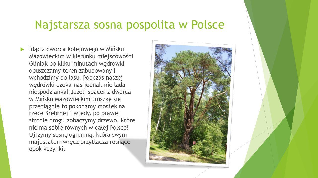 Najstarsza sosna pospolita w Polsce  Idąc z dworca kolejowego w Mińsku Mazowieckim w kierunku miejscowości Gliniak po kilku minutach wędrówki opuszczamy teren zabudowany i wchodzimy do lasu.