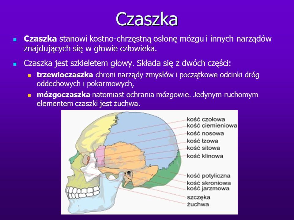 Czaszka Czaszka stanowi kostno-chrzęstną osłonę mózgu i innych narządów znajdujących się w głowie człowieka. Czaszka jest szkieletem głowy. Składa się