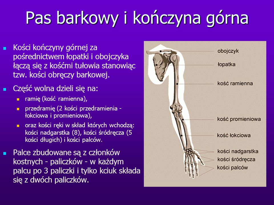Pas barkowy i kończyna górna Kości kończyny górnej za pośrednictwem łopatki i obojczyka łączą się z kośćmi tułowia stanowiąc tzw. kości obręczy barkow