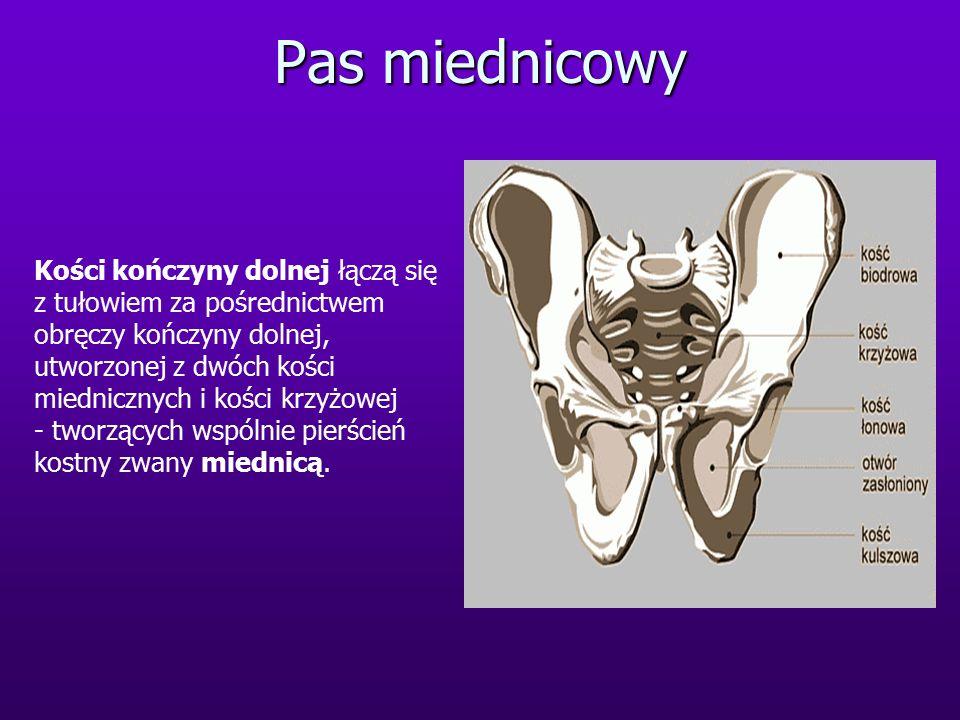 Pas miednicowy Kości kończyny dolnej łączą się z tułowiem za pośrednictwem obręczy kończyny dolnej, utworzonej z dwóch kości miednicznych i kości krzyżowej - tworzących wspólnie pierścień kostny zwany miednicą.