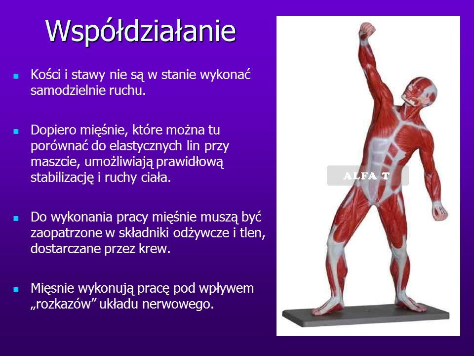 Współdziałanie Kości i stawy nie są w stanie wykonać samodzielnie ruchu. Dopiero mięśnie, które można tu porównać do elastycznych lin przy maszcie, um