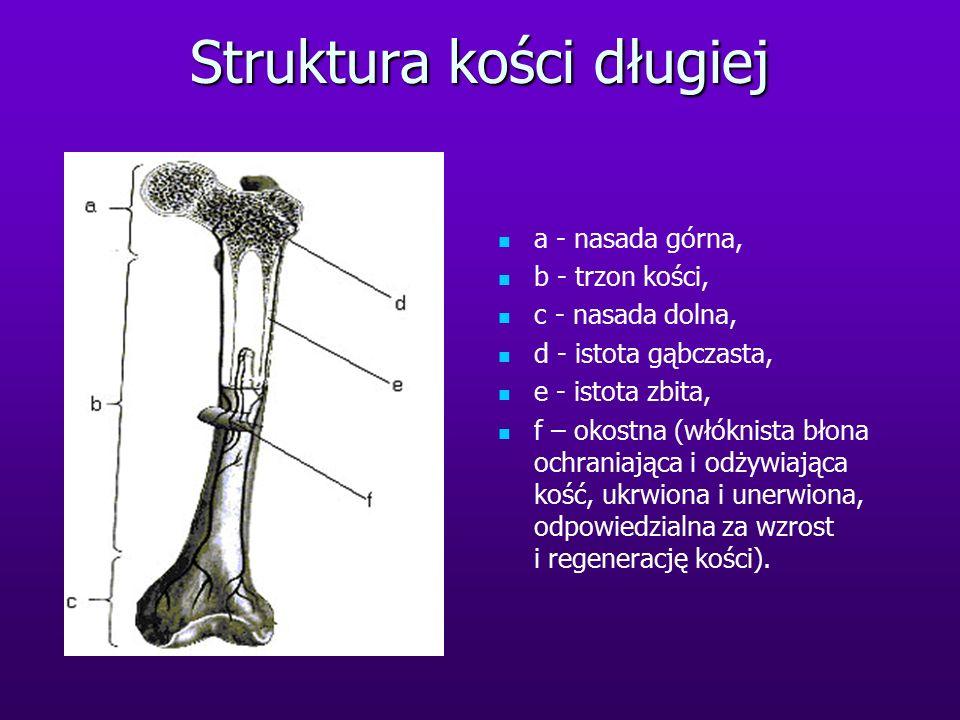 Struktura kości długiej a - nasada górna, b - trzon kości, c - nasada dolna, d - istota gąbczasta, e - istota zbita, f – okostna (włóknista błona ochraniająca i odżywiająca kość, ukrwiona i unerwiona, odpowiedzialna za wzrost i regenerację kości).