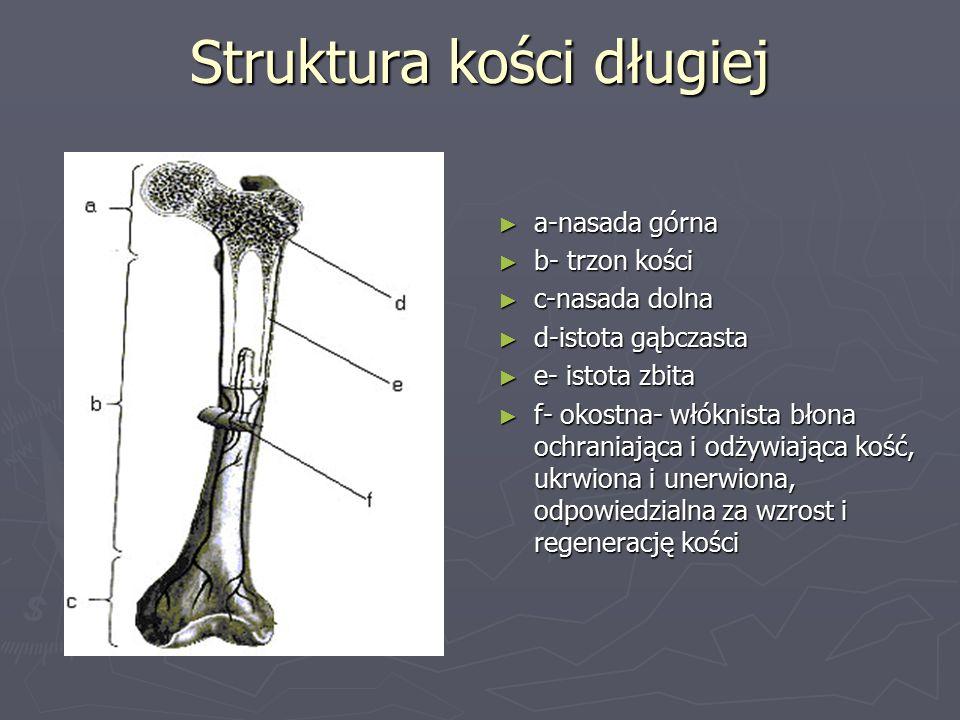 Struktura kości długiej ► a-nasada górna ► b- trzon kości ► c-nasada dolna ► d-istota gąbczasta ► e- istota zbita ► f- okostna- włóknista błona ochraniająca i odżywiająca kość, ukrwiona i unerwiona, odpowiedzialna za wzrost i regenerację kości